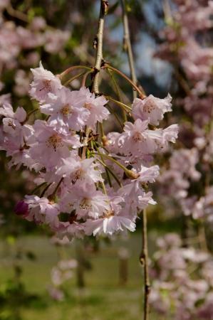 DSC06331枝垂桜
