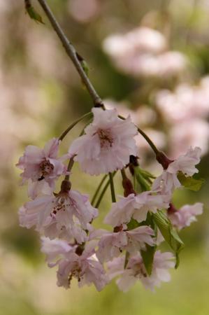 DSC06304枝垂桜