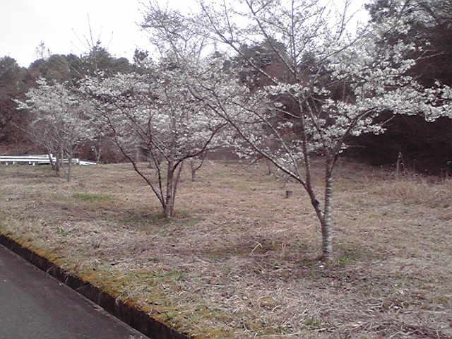 416sakura4.jpg