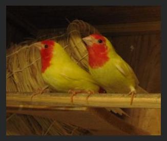Rt-parrotfinchlutino1.jpg