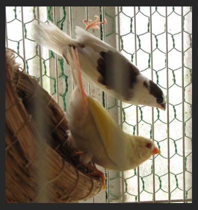 Rt-parrotfinchlutino2.jpg