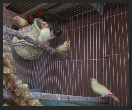 Rt-parrotfinchlutino3.jpg
