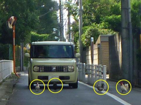 画像/ニワトリたちに足止めされる車