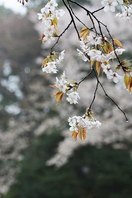 桜①130330滝山丘陵 (21)S済