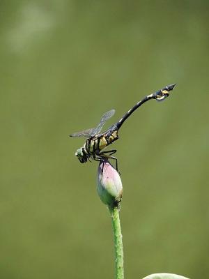 蜻蛉ウチワヤンマ130708昭和記念公園 (25)S済