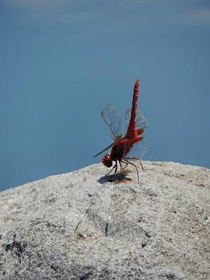 蜻蛉ショウジョウトンボ130708昭和記念公園 (19)S済