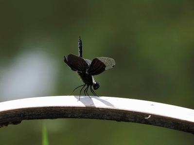 蜻蛉チョウトンボ130708昭和記念公園 (2)T済、S済