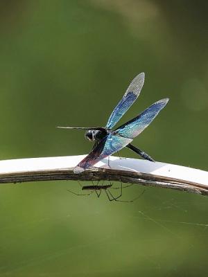 蜻蛉チョウトンボ130708昭和記念公園 (6)S済