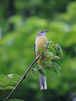 鳥キセキレイ130718三頭山 (25)S済