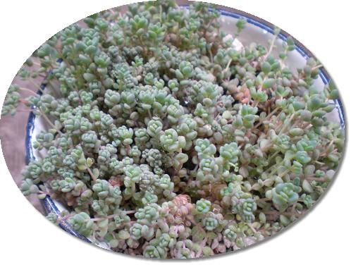ブレビフォリウム