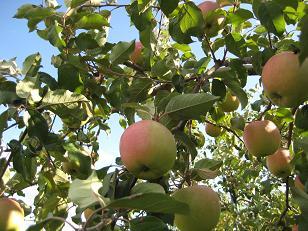 お隣さんのリンゴ