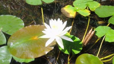 白いハスの花1