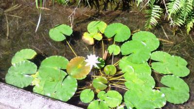 白いハスの花3
