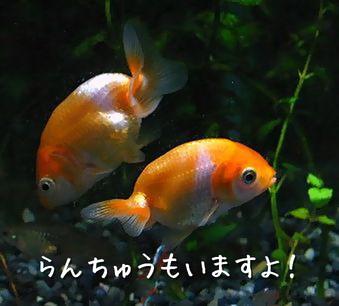 我が家の金魚 その③