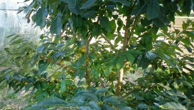 2011-9-29小柿1