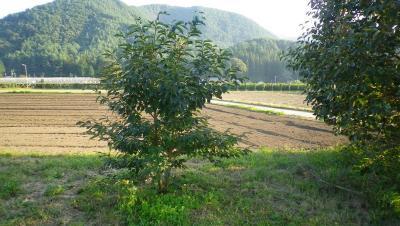 2011-9-29小柿