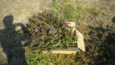 2011-10-2赤紫蘇1