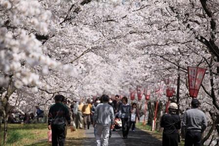 桜の名所 斐伊川堤防桜並木