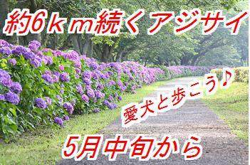 ajisai_20130511012640.jpg