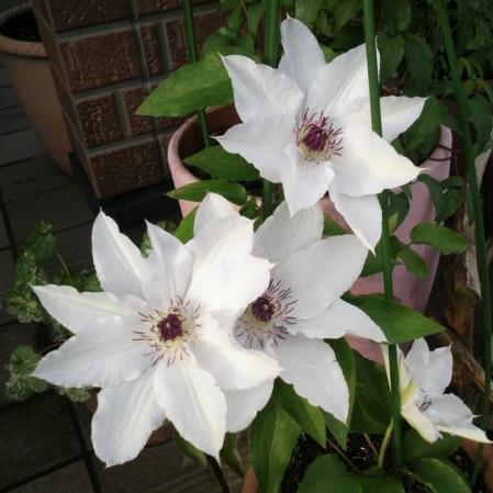 いつかは咲かす大輪の花