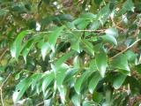榊の葉、つややかな緑色