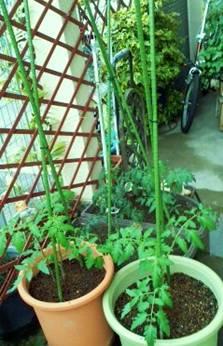 ミニトマトのセットアップ