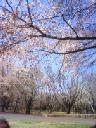 樹林公園桜