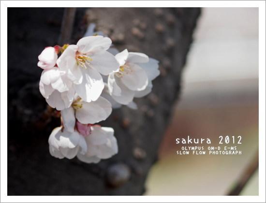 1204sakura09