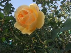 黄色いばら