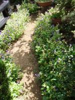 庭のトレニア