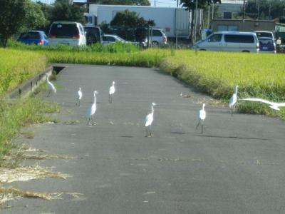 白鷺群れる、田んぼ道