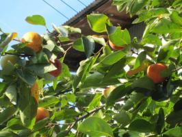 柿が赤くなると、医者が青くなる。実りの秋です。