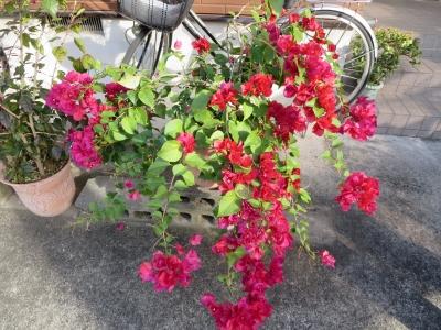 ブーゲンビリアと自転車