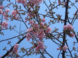 誕生寺の桜