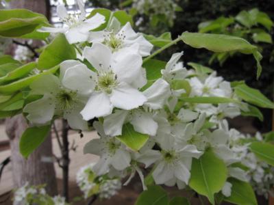 EGGの梨の花