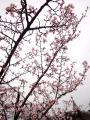 桜_120430-2