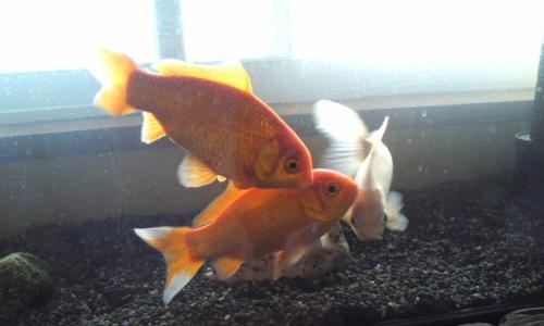 金魚さん1