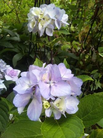 黒軸紫陽花