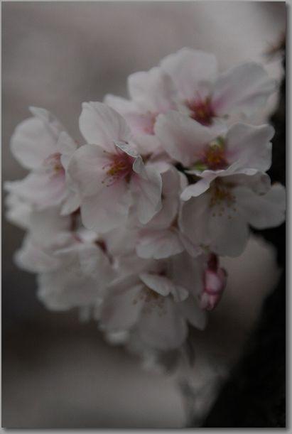 岩倉桜 033