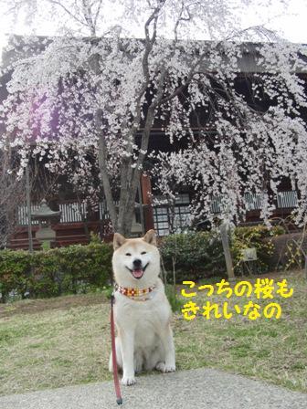 こっちの桜