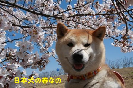 日本犬の春