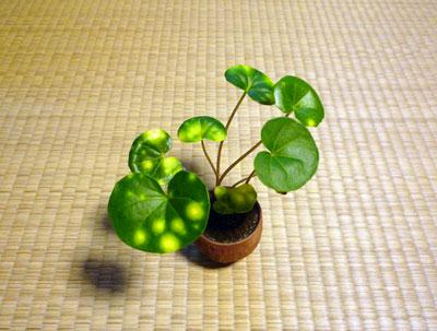 ミニ盆栽03