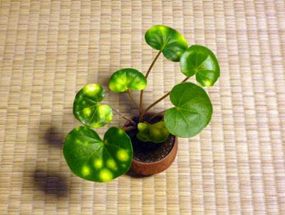 ミニ盆栽04