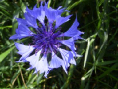 CentaureaCyanus-bloem-kl_20120301090543.jpg