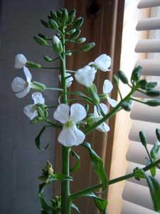 大根の花2
