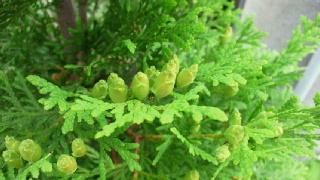 コニファー(グリーンコーン)の花