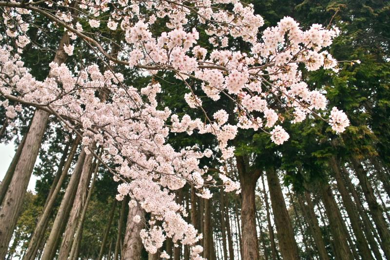 陶芸メッセ・益子の桜
