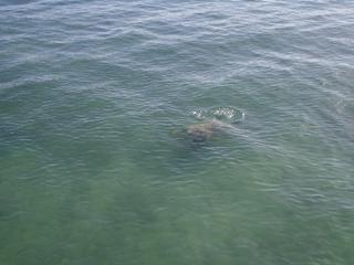 カメが泳いでました。すぐそばにホテルが林立しているのに・・・