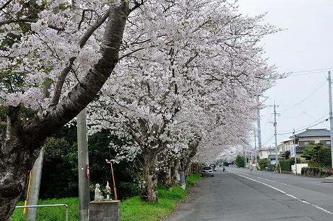 桜2013④