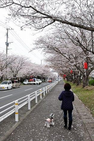 桜のトンネルです③